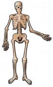 Esqueleto para decorar